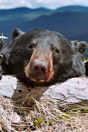 Big-Black-Bear_360x540